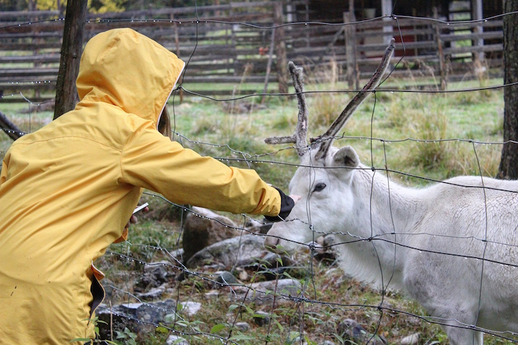 Autumn Adventure Activities in Kuusamo - Meeting Reindeer